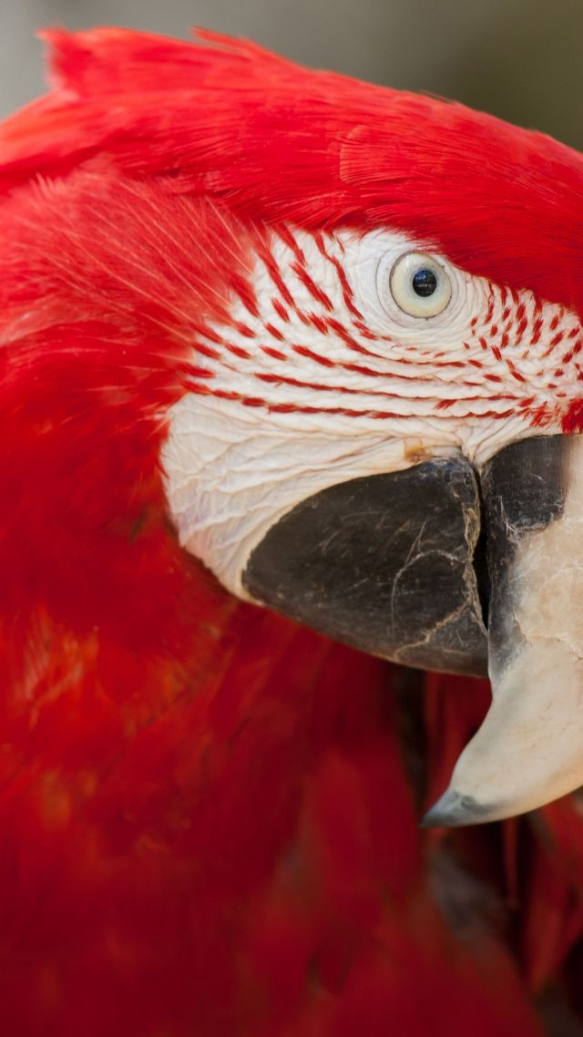 Macaw parrot, tropical bird, red (vertical)