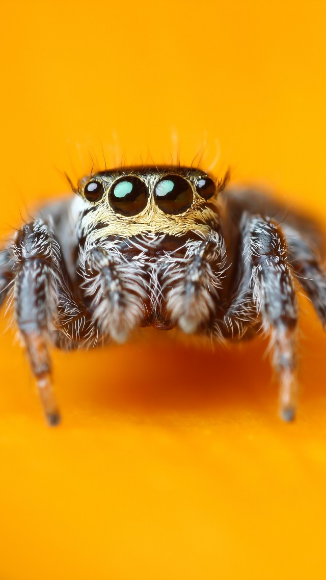 Jumping Spider, 5k, 4k wallpaper, macro, black, eyes, yellow, insects, arachnid, cute (vertical)