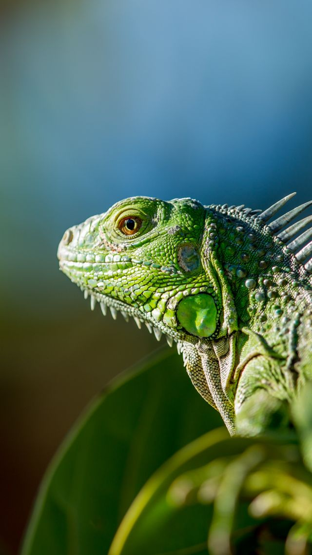 iguana, green (vertical)