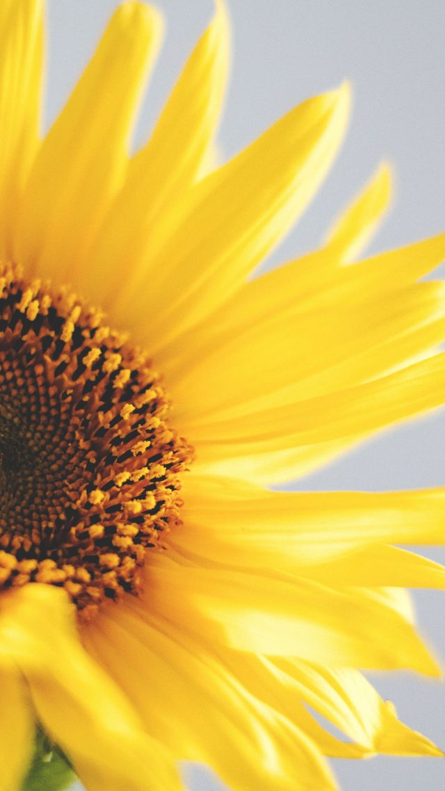 sunflower, 5k, 4k wallpaper, yellow (vertical)
