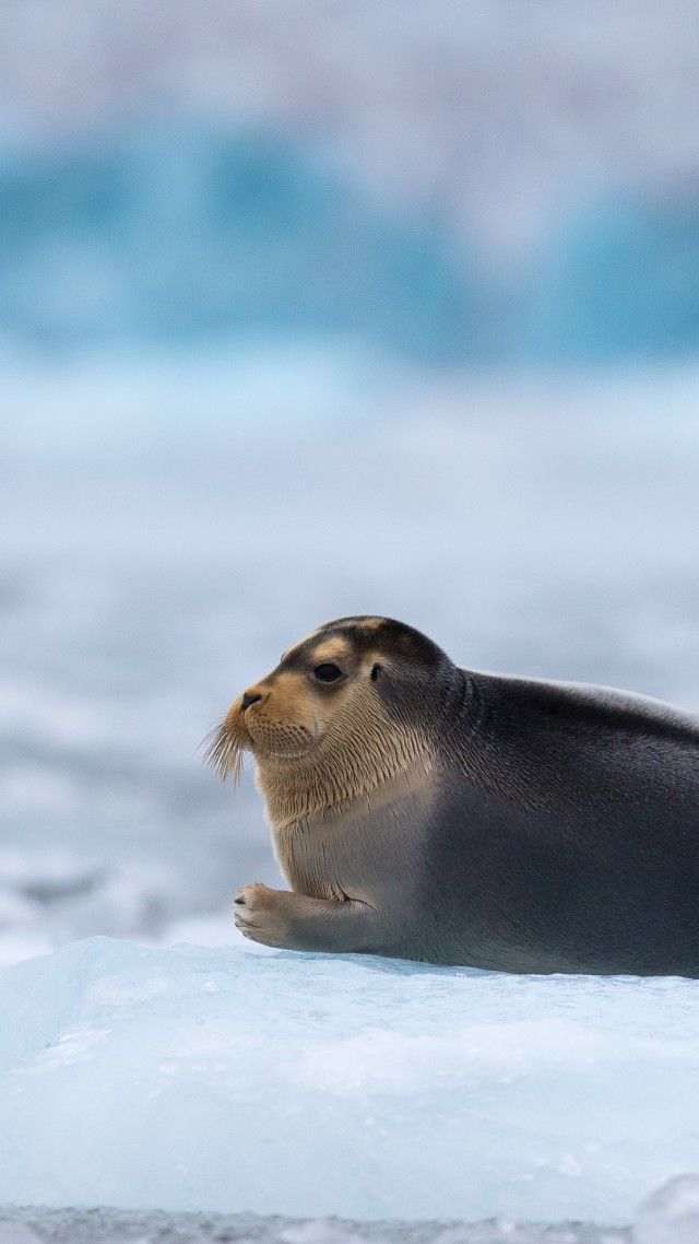 Bearded Seal, Arctic, Pacific, Ocean, Hudson Bay, ice, blue, white, water, tourism (vertical)