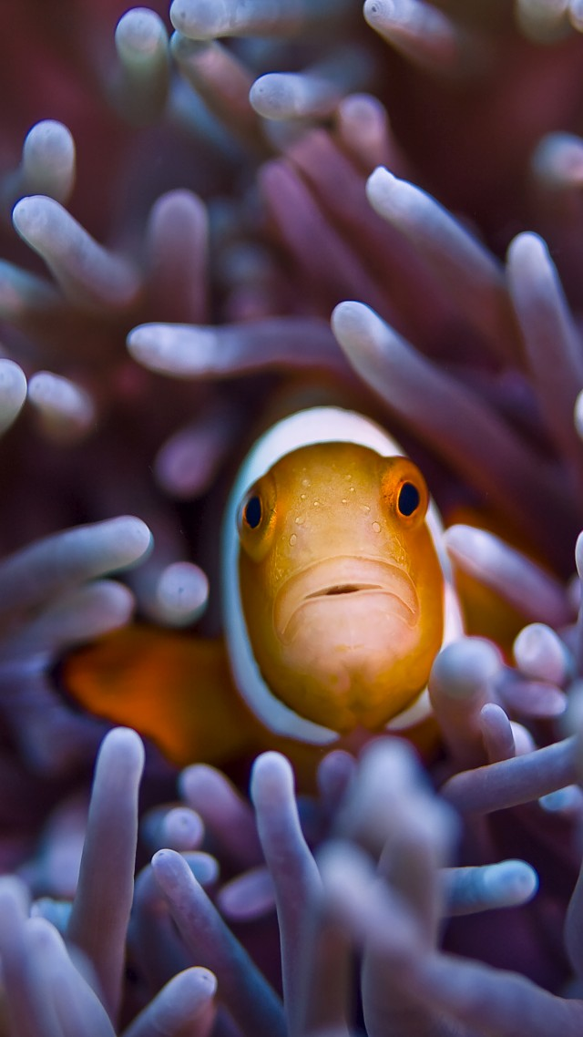 Clownfish, 5k, 4k wallpaper, Gili, Island, Bali, indian, pacific, underwater, diving, tourism, orange, sealife, sea, ocean, World's best diving sites (vertical)