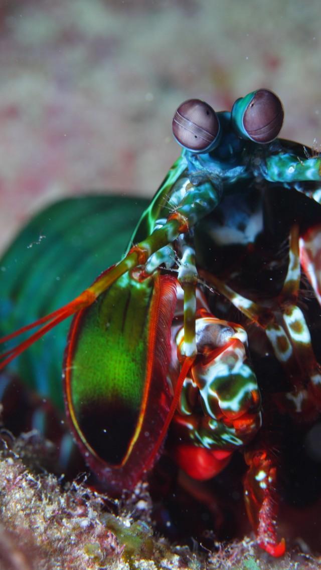 Colorful Mantis Shrimp Indian Pacific Ocean Africa Hawaii