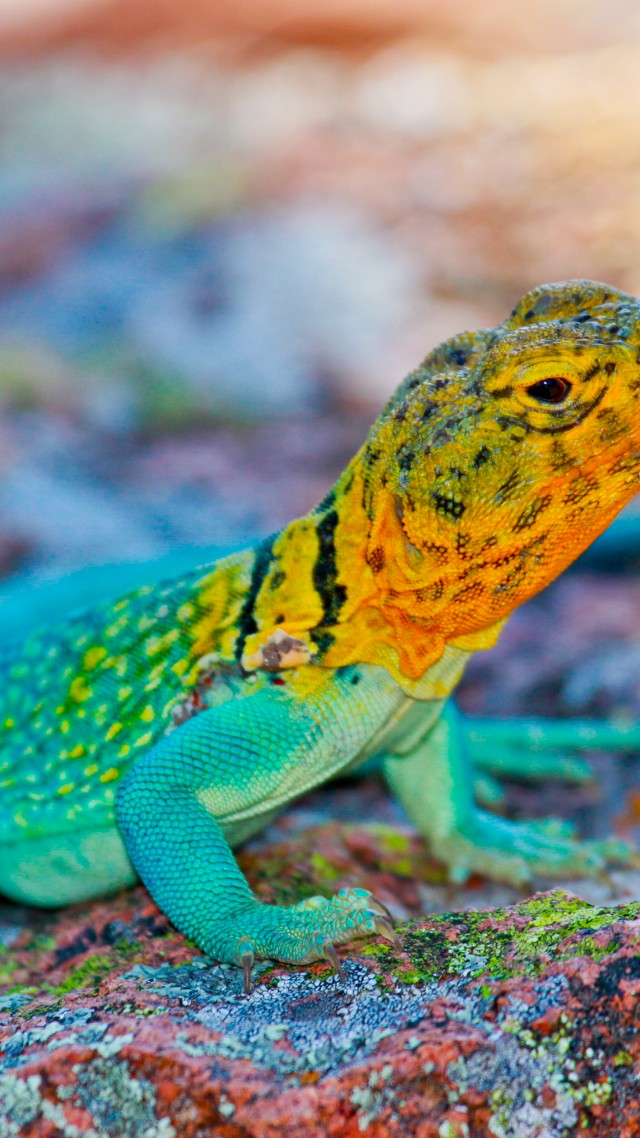 Colorful Pet Lizards Wallpaper Crota...