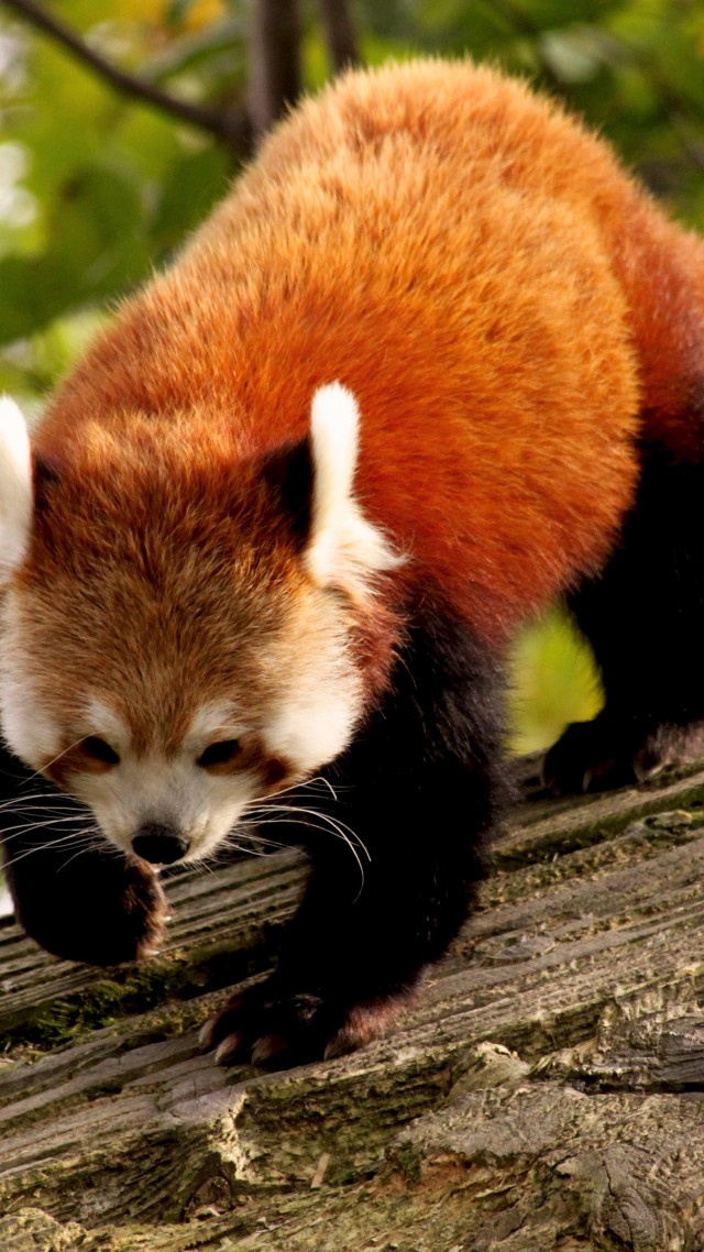 wallpaper red panda  animal  nature  branch  green  fur  wild  animals  1343