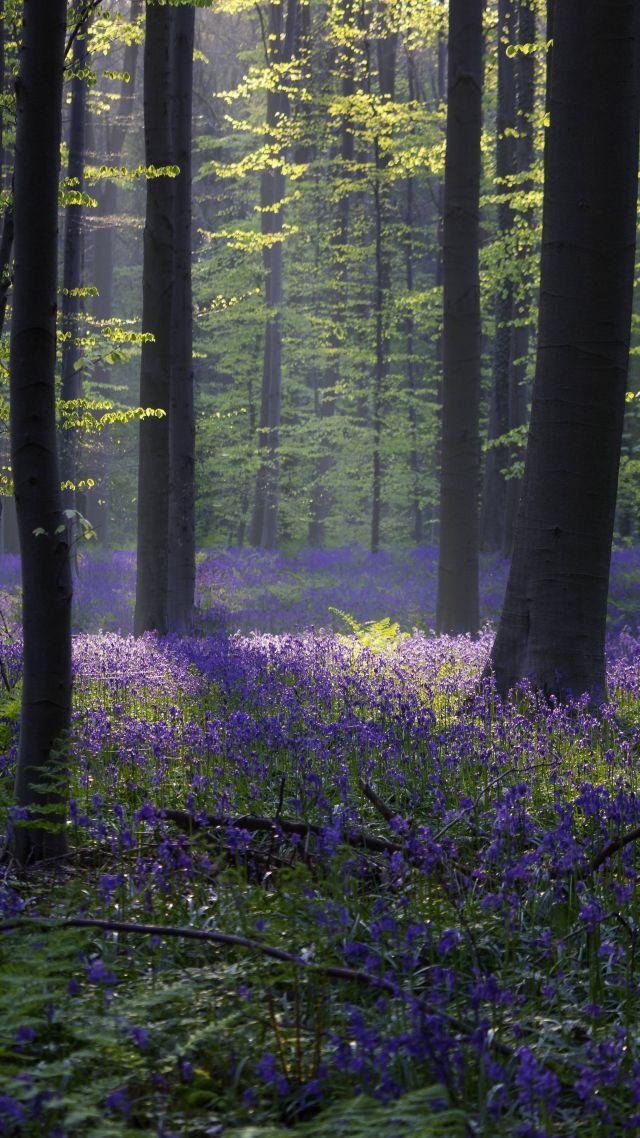 Wallpaper forest bluebell sunlight spring halle - Nature wallpaper vertical ...