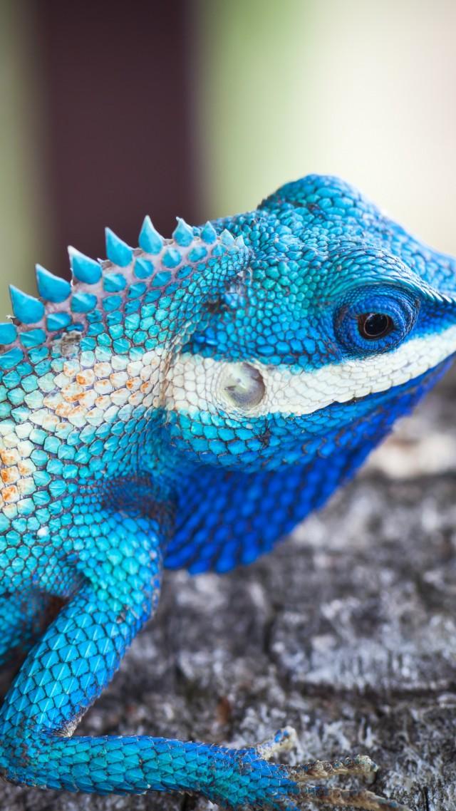Wallpaper Lacerta viridis, Blue iguana, tree, nature ... - photo#22