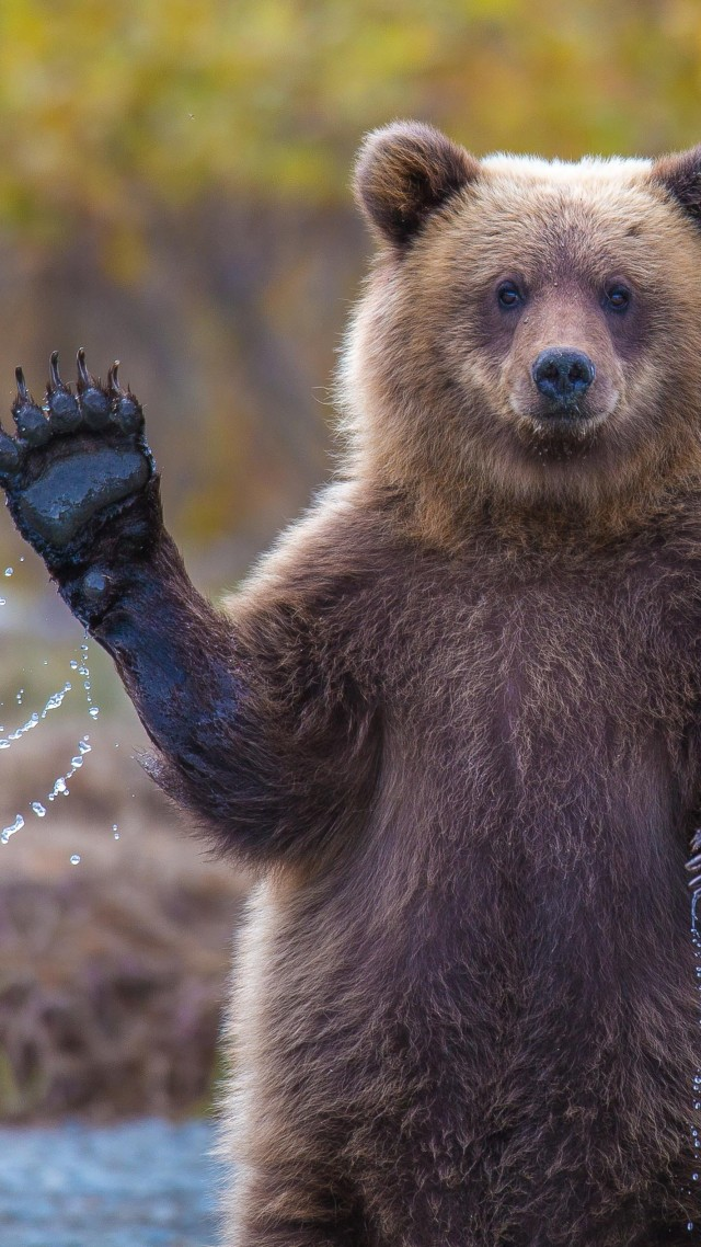 Bear, 4k, HD wallpaper, Hi, Water, National Geographic, Big (vertical)