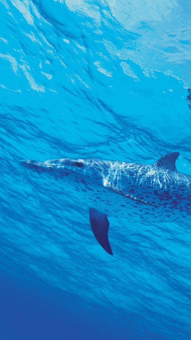 Dolphin Underwater 4k Vertical