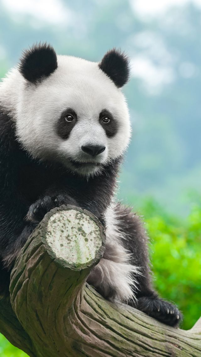 panda, cute animals, 4k (vertical)