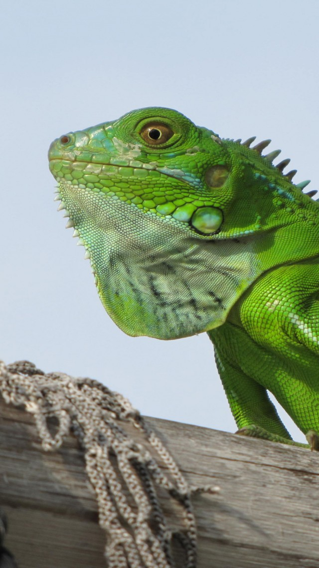 iguana, green, 4k (vertical)