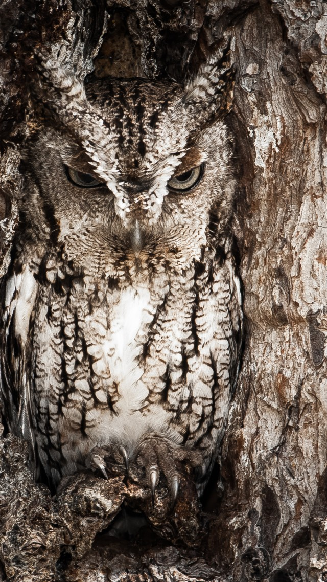 National Geographic 4k HD Wallpaper Owl Hidden Tree Masking