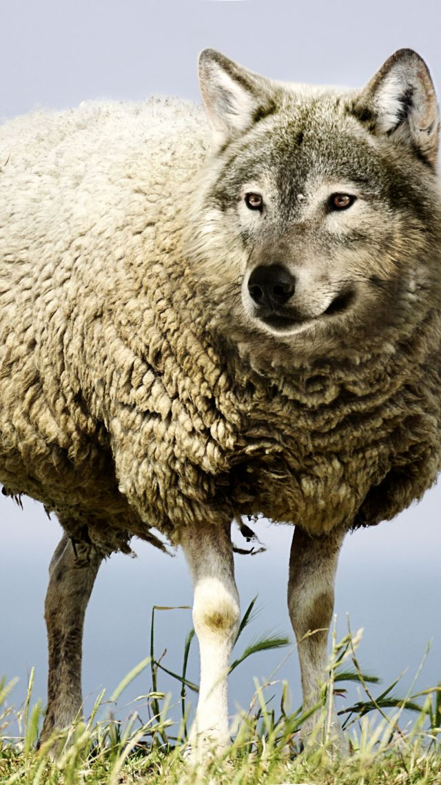 wolf in sheep's clothin, wolf, sheep, 5k (vertical)