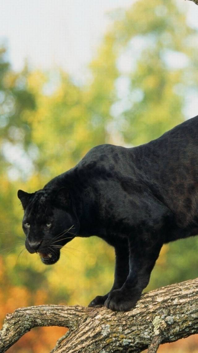 Wallpaper Panther Black 4k Animals 15441
