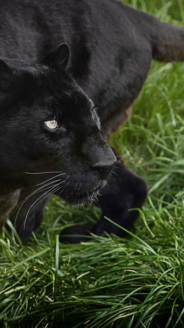 Wallpaper Panther Black 4k Animals 15442