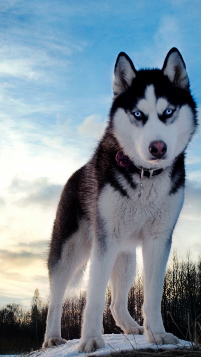 Wallpaper Husky Dog Cute Animals 4k Animals 16008