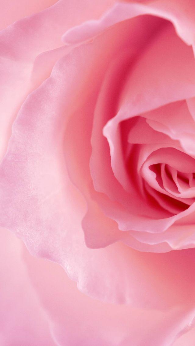 Wallpaper Flower Rose Pink 4k Nature 16036