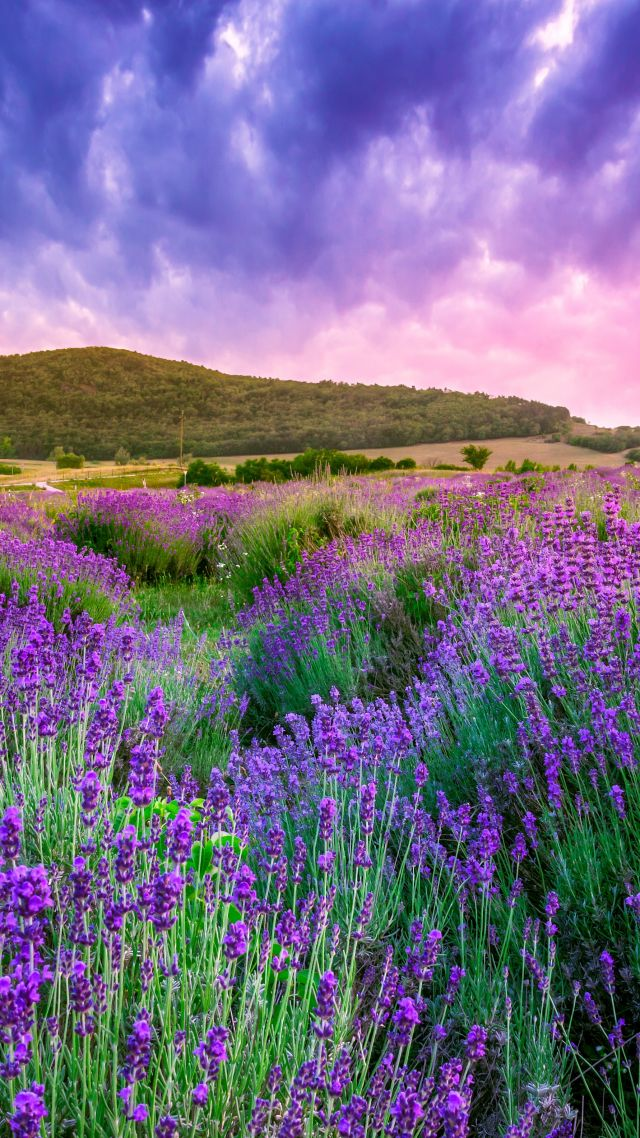 lavender, field, sky, mountain, Provence, France, Europe, 4k (vertical)