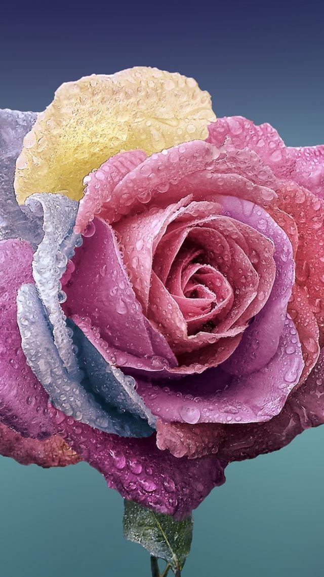 Rose Flower 4k Vertical