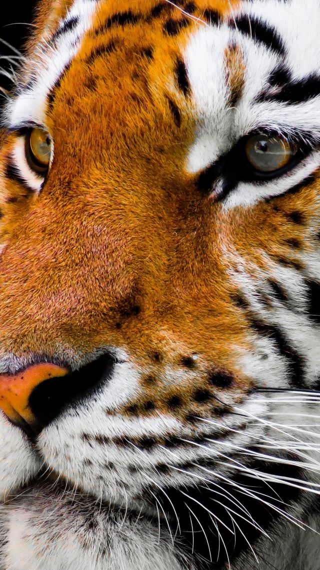 Wallpaper Tiger, Cute Animals, 4k, Animals #16738