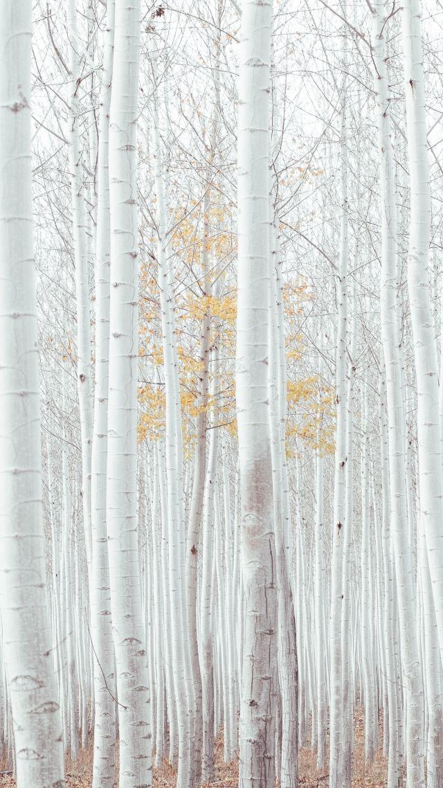 Wallpaper White Trees Forest 4k Nature 16745