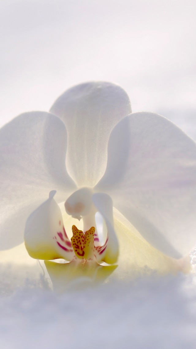 orchid, flower, snow, winter, white, 4k (vertical)