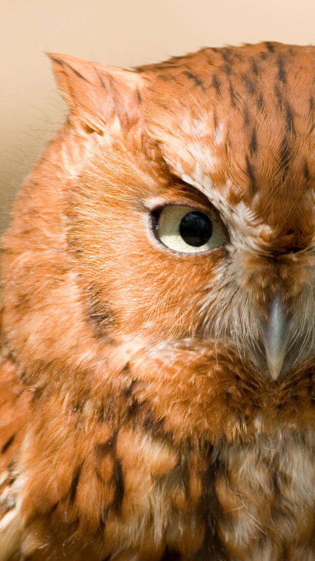 Owl, Eastern Screech, 5k, 4k wallpaper, red, bird, eyes, green, close, nature (vertical)