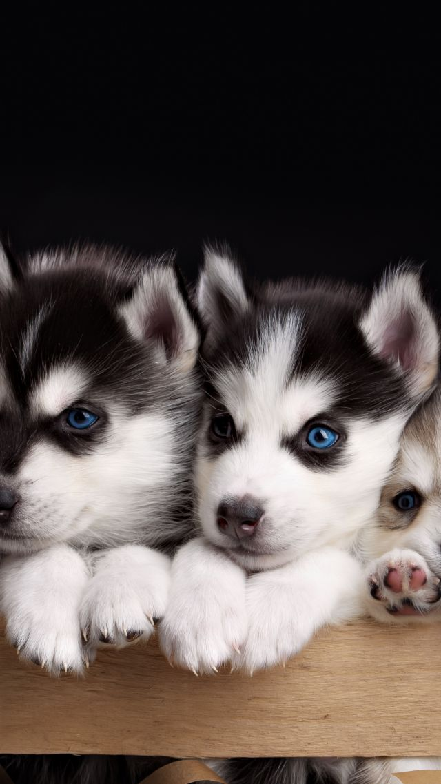 Husky, puppy, cute animals, 4k (vertical)