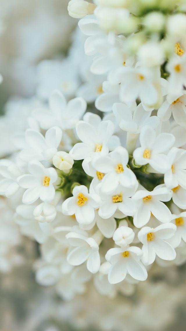 Wallpaper White Flower spring K K Nature