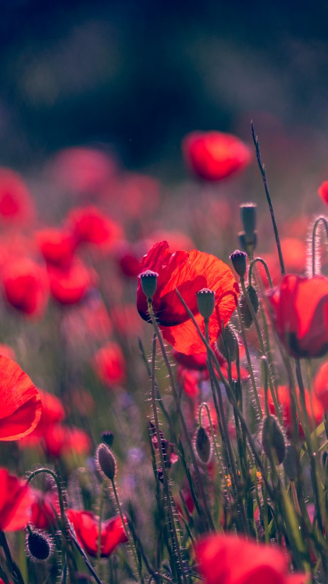 Hazy Poppy Field Wallpaper Wall Mural