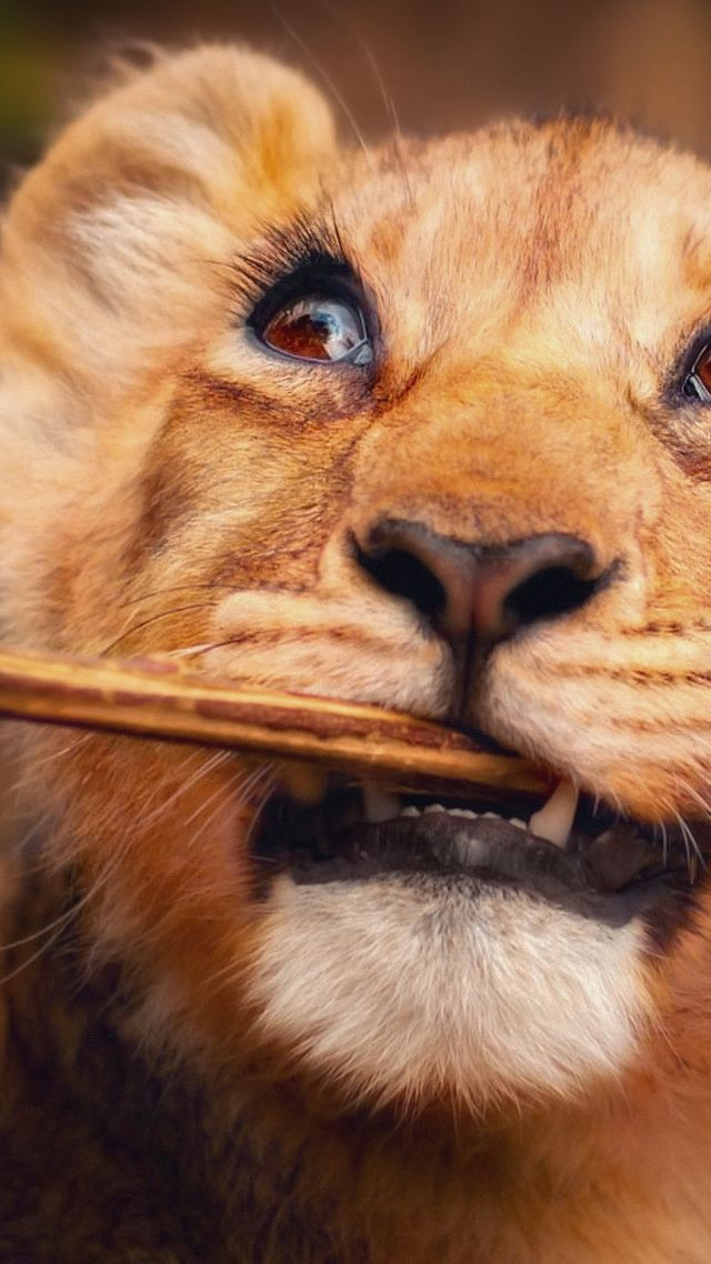 Lion, funny animals, 4K (vertical)