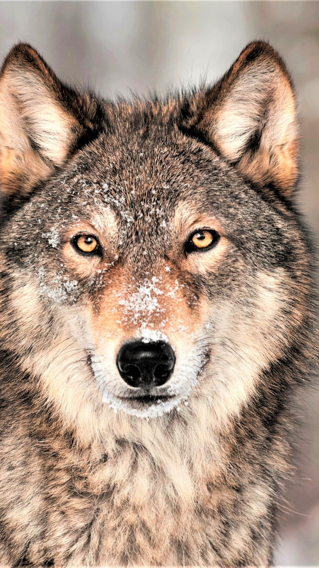 Wolf, grey, 4K (vertical)