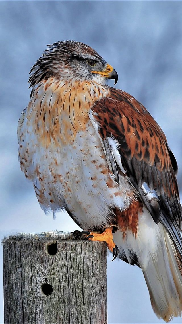 Ferruginous Hawk, bird, winter, snow, 4K (vertical)