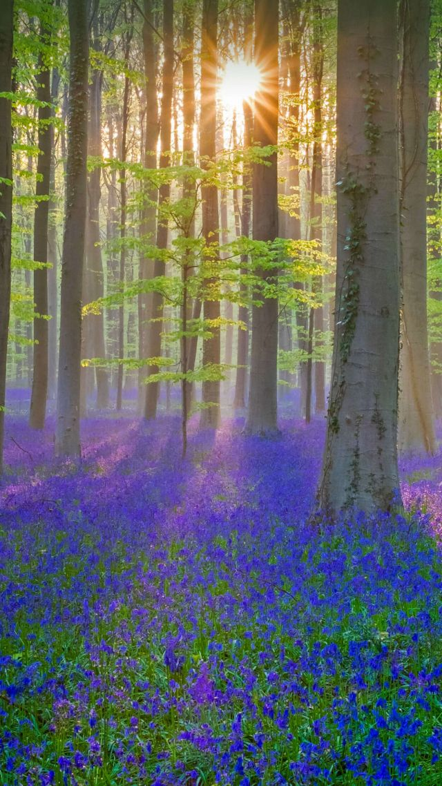 bluebell, flower, forest, sun, light, 4K (vertical)
