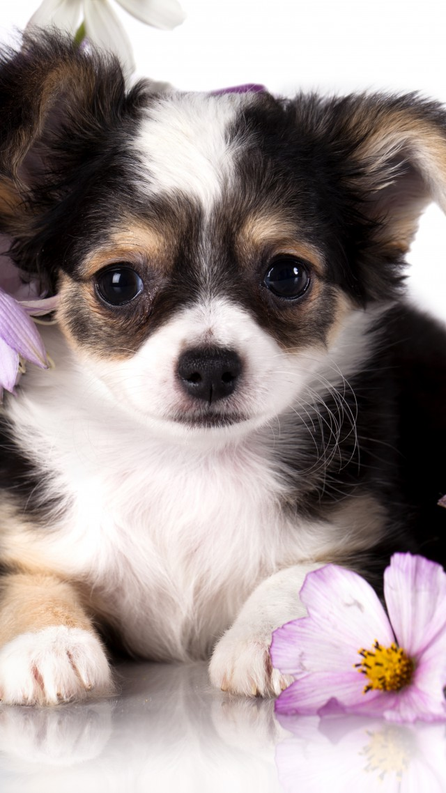 Chihuahua, puppy, dog, flower, animal (vertical)