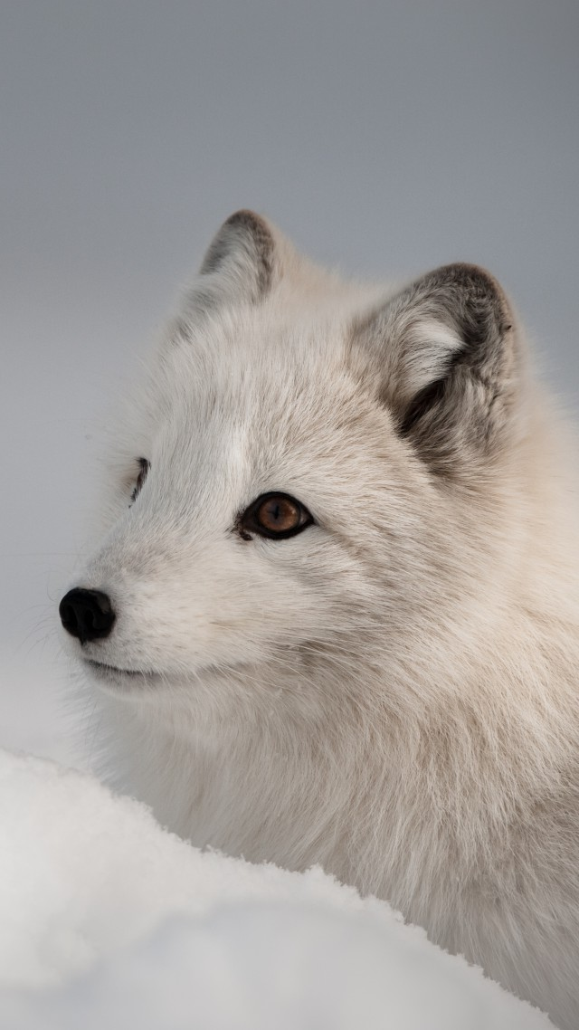 Arctic fox, Northern Hemisphere, animal (vertical)