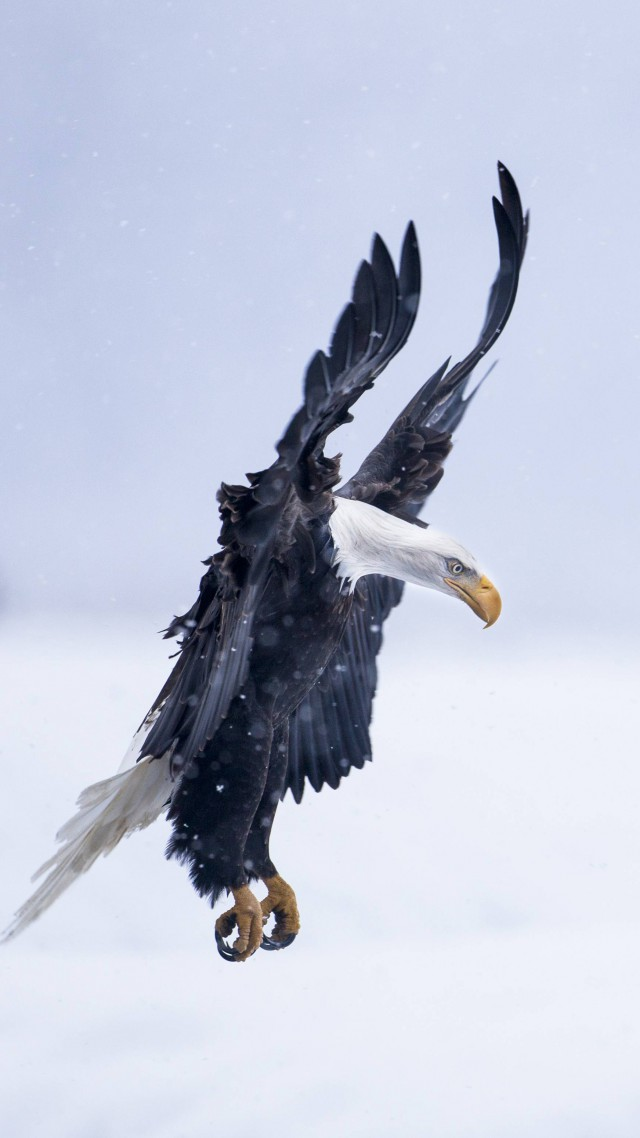 Eagle, Alaska, 5k, 4k wallpaper, HD, flight, winter, snow, National Geographics (vertical)