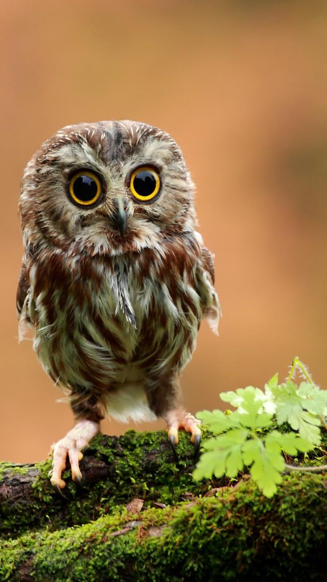 Wallpaper Owl Chicken Forest Eyes Animals 4086