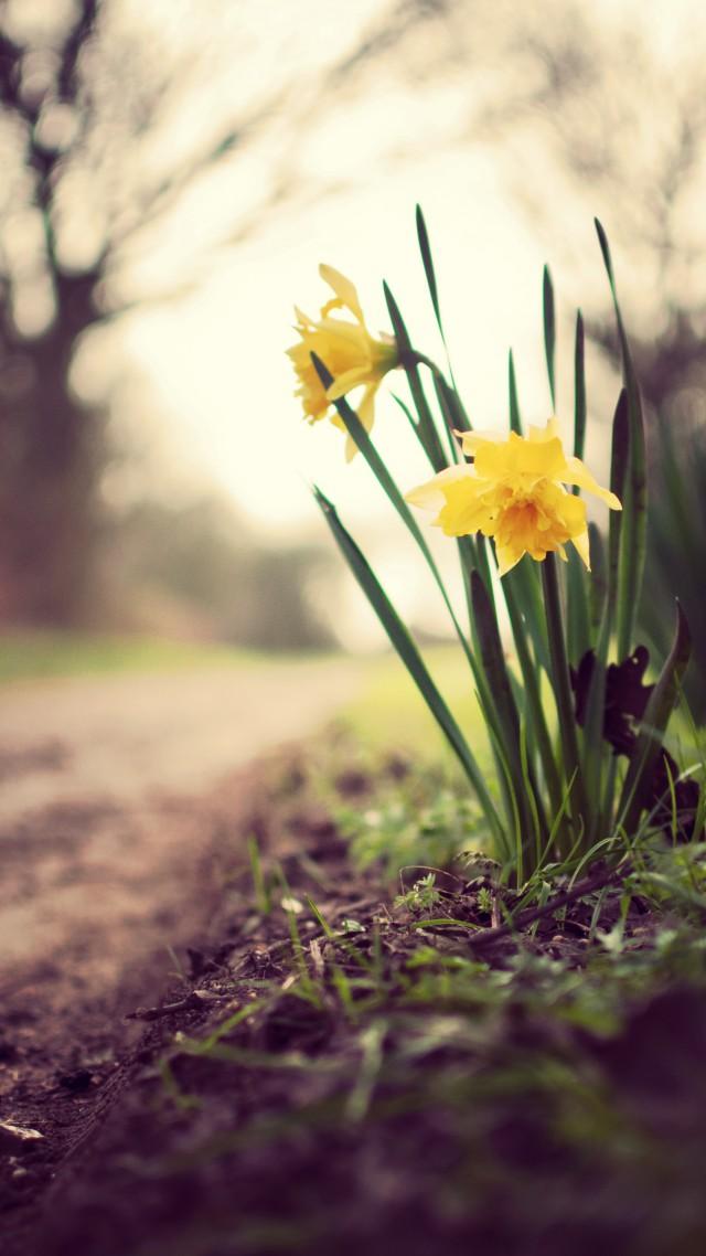 Wallpaper Daffodils, 5k, 4k wallpaper, flowers, spring ...