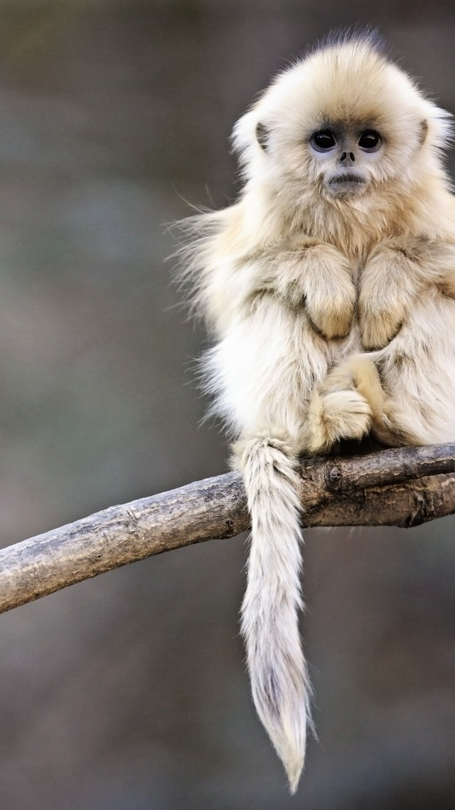 Snub-nosed monkey, monkey, Roxelana, Wolong National Nature Reserve, China, animals (vertical)