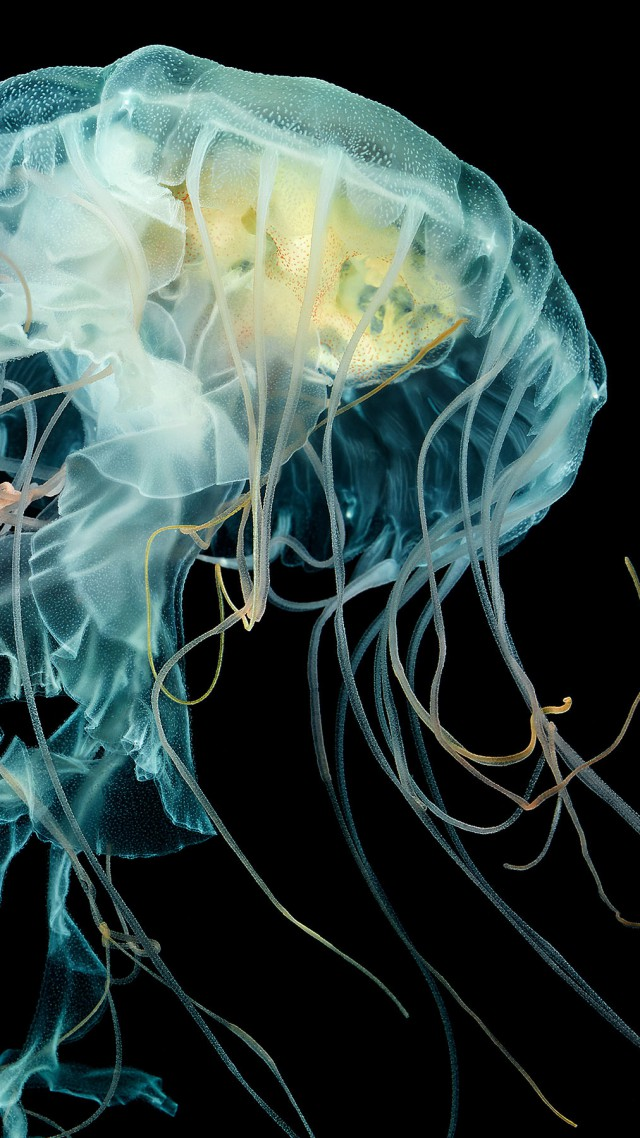 Wallpaper apple watch wallpaper jellyfish 4k hd - Jellyfish hd images ...