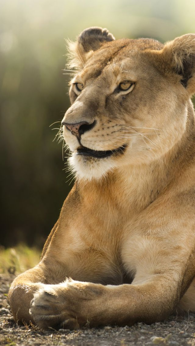Lion, savanna, cute animals (vertical)