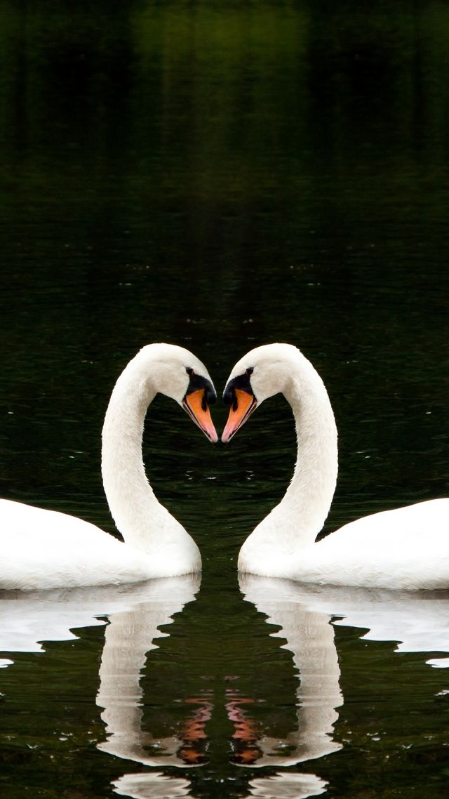 Wallpaper Swan, couple, lake, cute animals, love, Animals ...