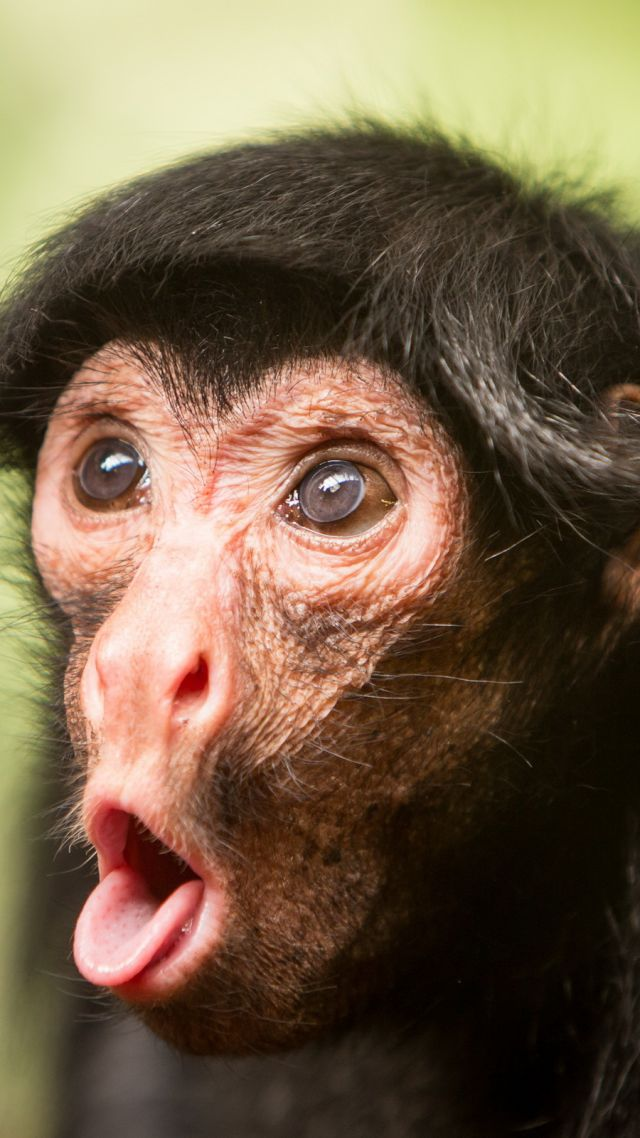 Chimpanzee, monkey, cute animals, funny (vertical)