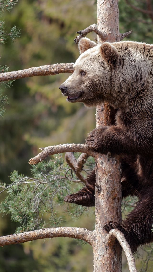 Brown bear, bear, cute animals, tree (vertical)