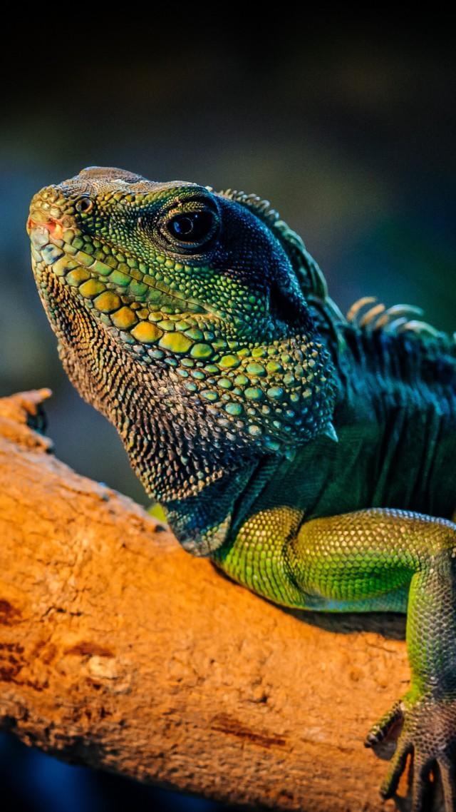 Wallpaper Iguana Lizard Cute Animals Animals 4670