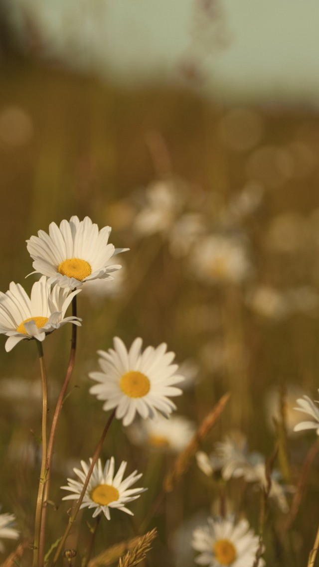 Daisies, 4k, HD wallpaper, Field (vertical)
