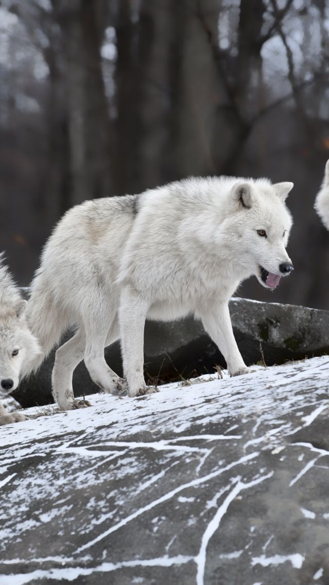 Wolf, forest, snow, cute animals (vertical)