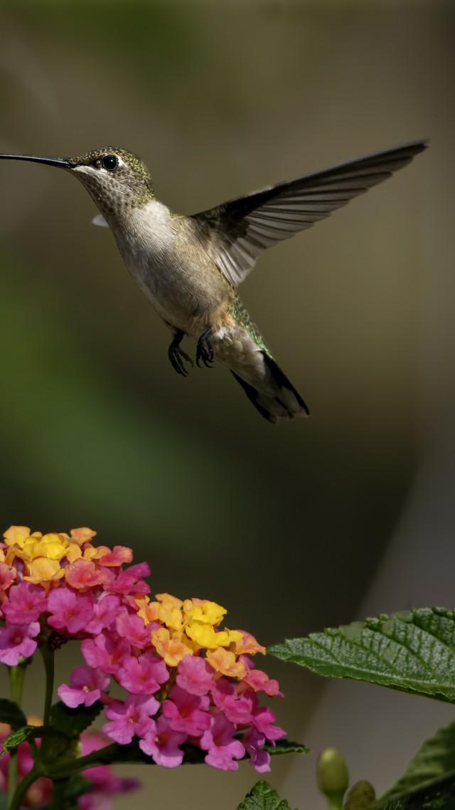 Wallpaper Colibri Flowers Flight Blur Animals 4756 Page 3