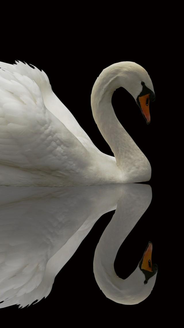 Wallpaper Swan, reflection, cute animals, Animals #4878